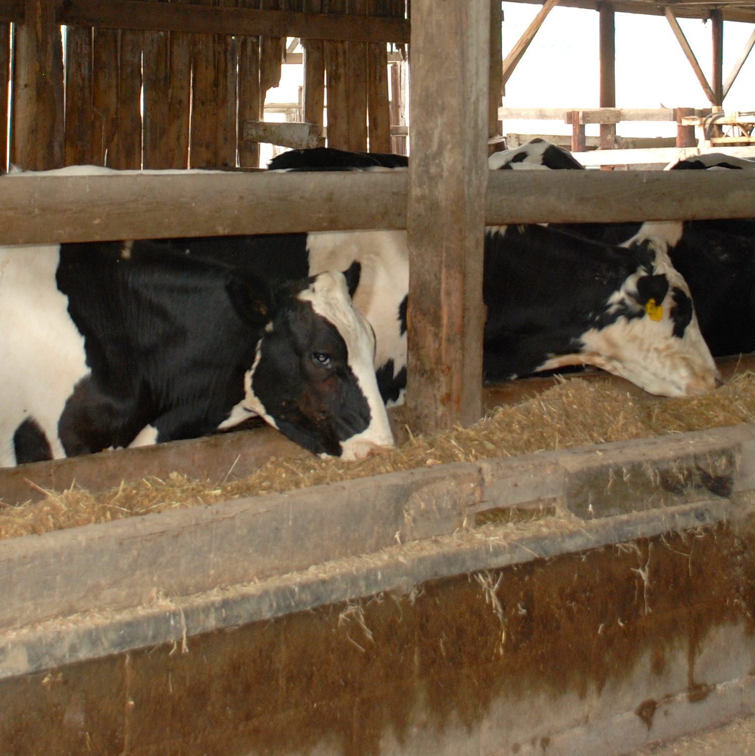 Dairy steers being fed