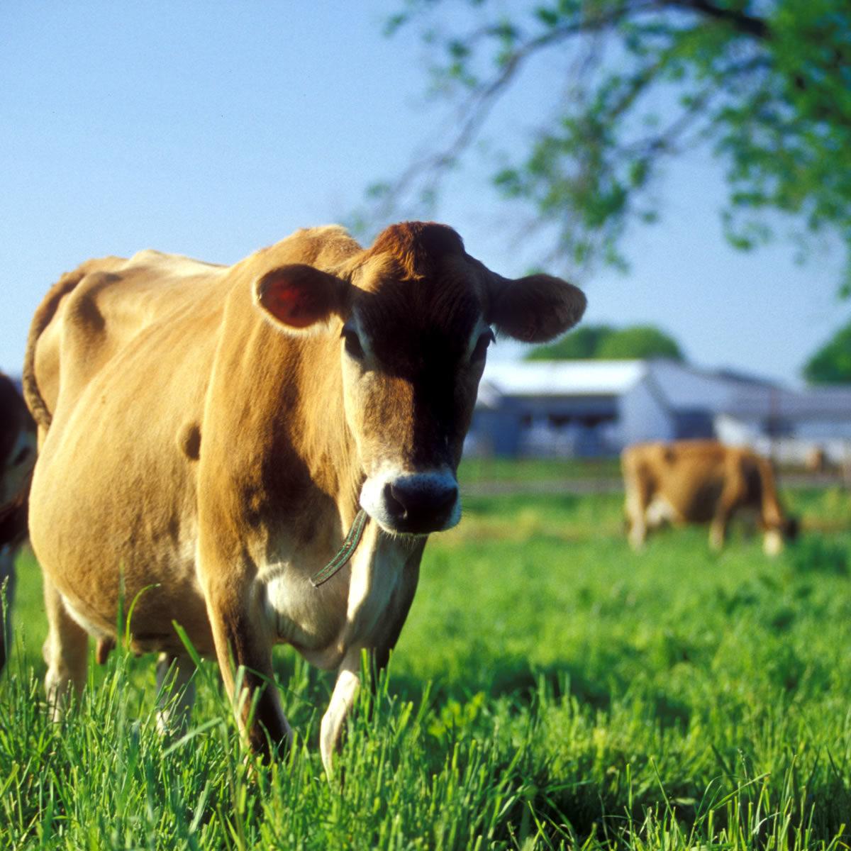 Jersey heifers in field